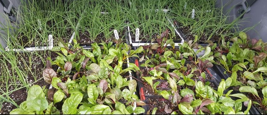 vegetable seedlings